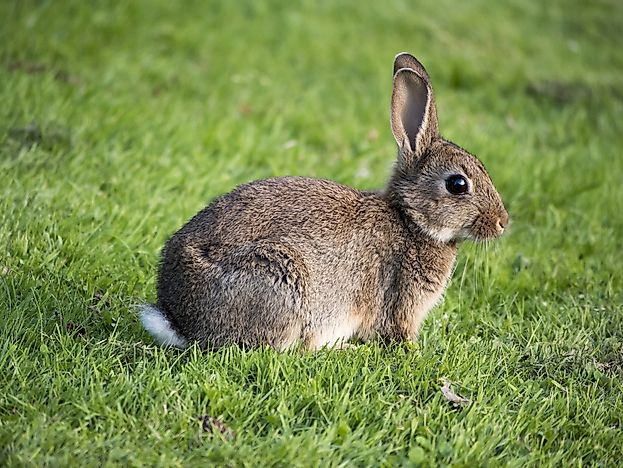 A European wild rabbit.