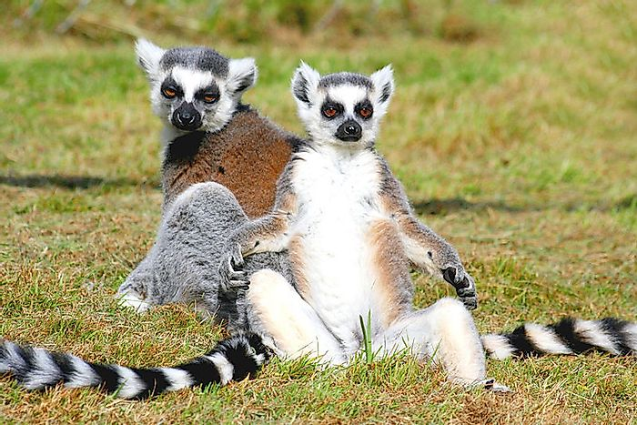 #13 Lemurs of Madagascar