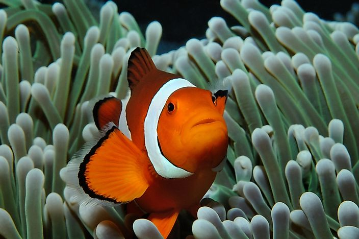 A clownfish in a sea anemome.
