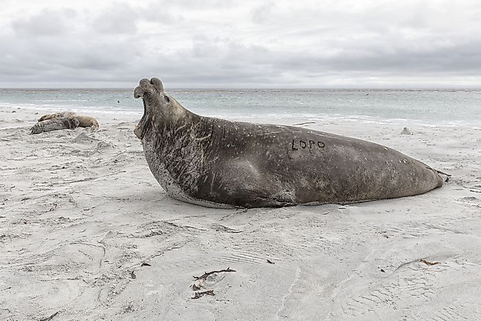 #3 Southern Elephant Seal