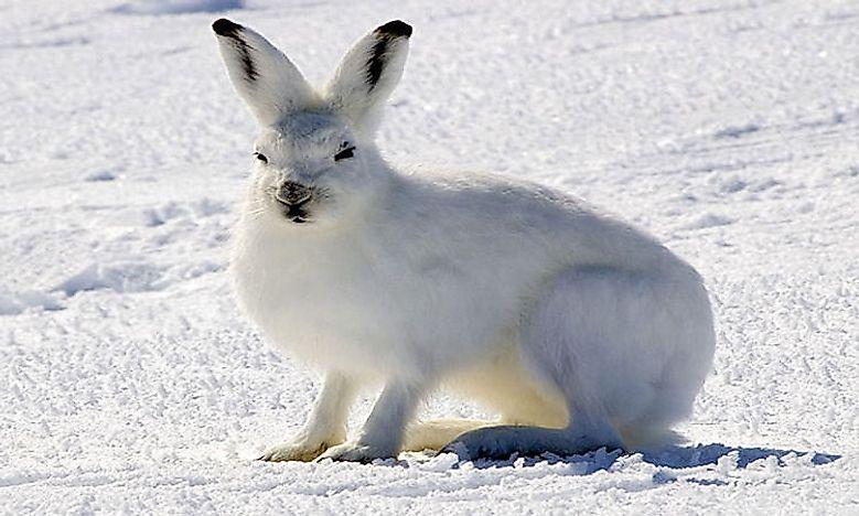 What Animals Live In The Tundra? - WorldAtlas.com