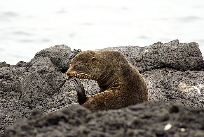 #4 Galapagos Fur Seals