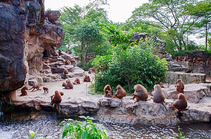 Monkeys at the Singapore Zoo.