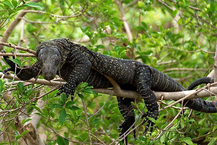 The Largest Lizards in the World - WorldAtlas com
