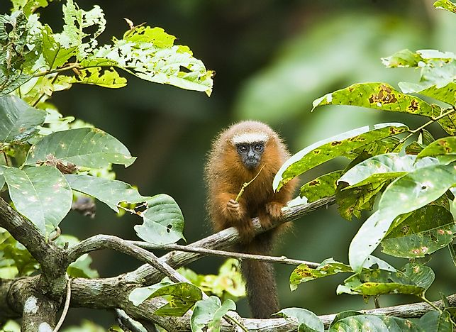 Titi Monkey Facts - Animals of South America