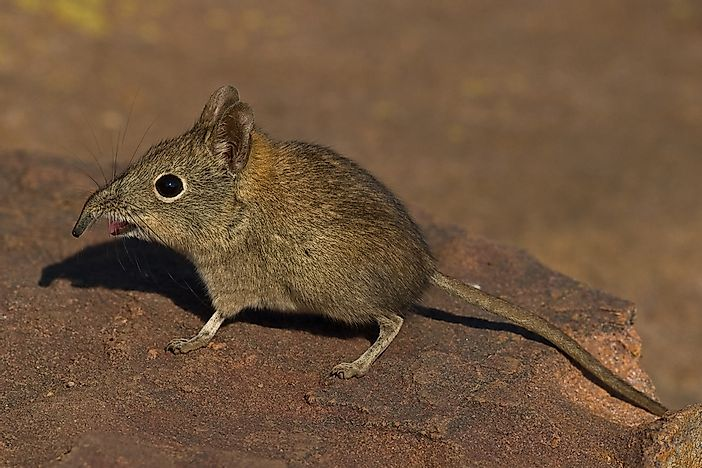 An elephant shrew.
