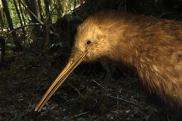 #1 Great Spotted Kiwi