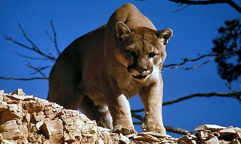 #1 Mountain Lions