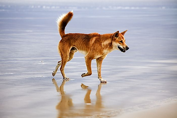 A dingo on the beach in Australia.