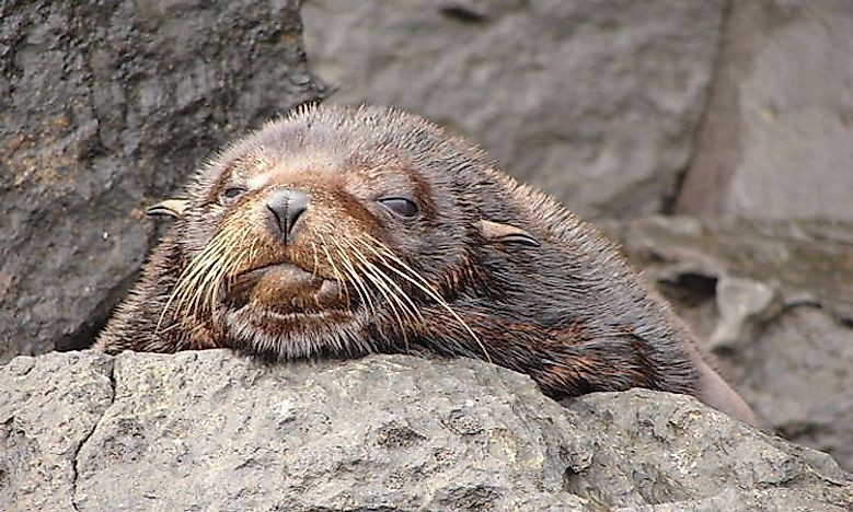 #4 Galapagos Fur Seals -