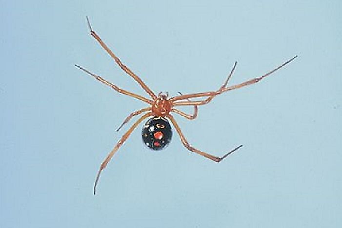 Of The Deadliest Spiders In The World WorldAtlascom - Black widow spider us map