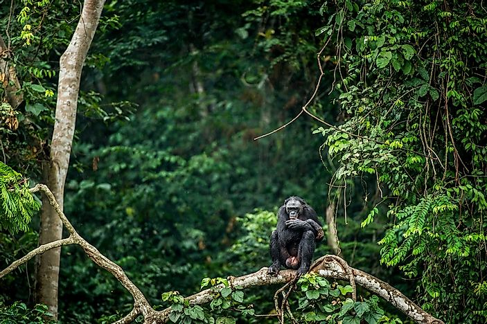 A bonobo rests in the rainforest of the Congo Basin.