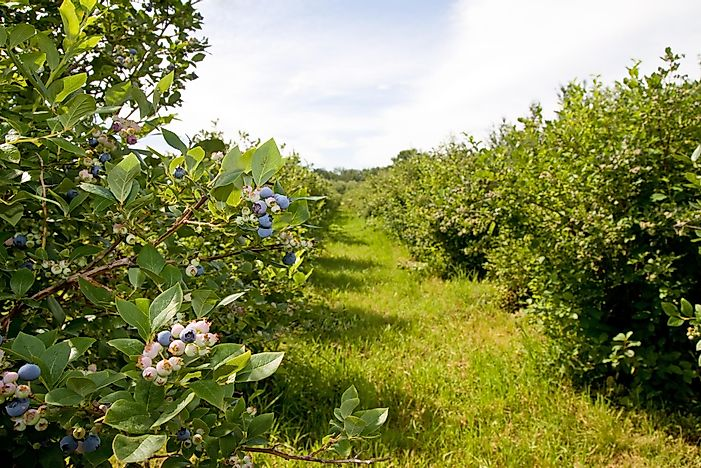 #3 Michigan - 92 Million Pounds of Blueberries Produced