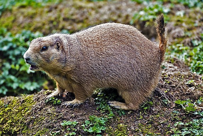 Black-Tailed Prairie Dog: Animals of North America
