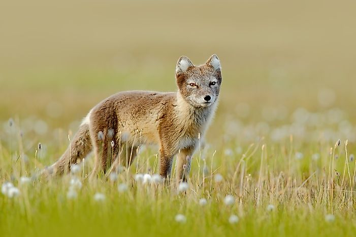 animals that live in the tundra - worldatlas