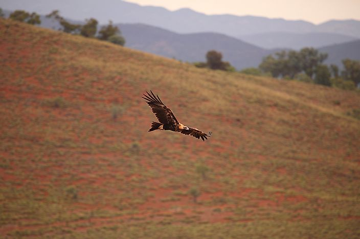 #4 Australian Wedge-Tailed Eagle, 230 cm (7.55 inches)