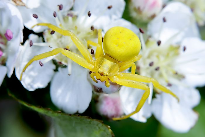 #12 Goldenrod Crab Spiders
