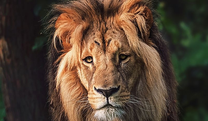 Southwest African Lion Facts: Animals of Africa