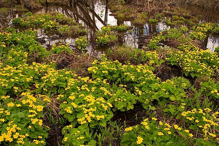 What Is A Shrub Swamp?