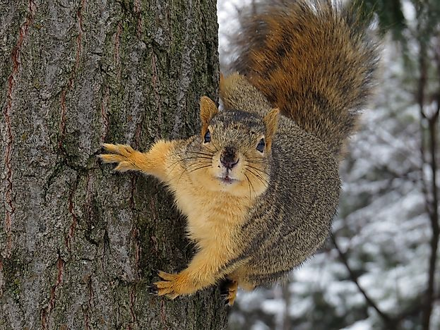 A fox squirrel climbing a tree.