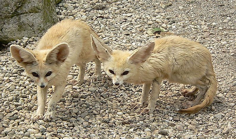 #3 Desert Foxes (Fennec Fox, Pale Fox and Rüppell's Fox)