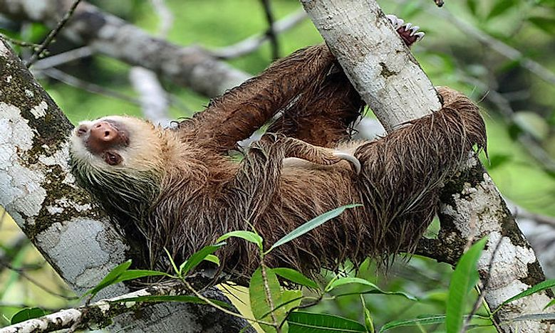 #6 Hoffmann's Two-Toed Sloth  -