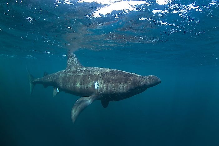 #2 Basking shark
