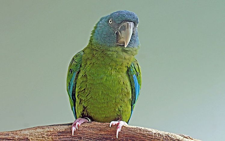 #14 Blue-Headed Macaw