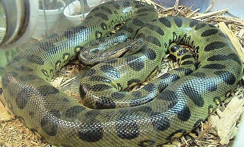 #1 Green Anaconda -
