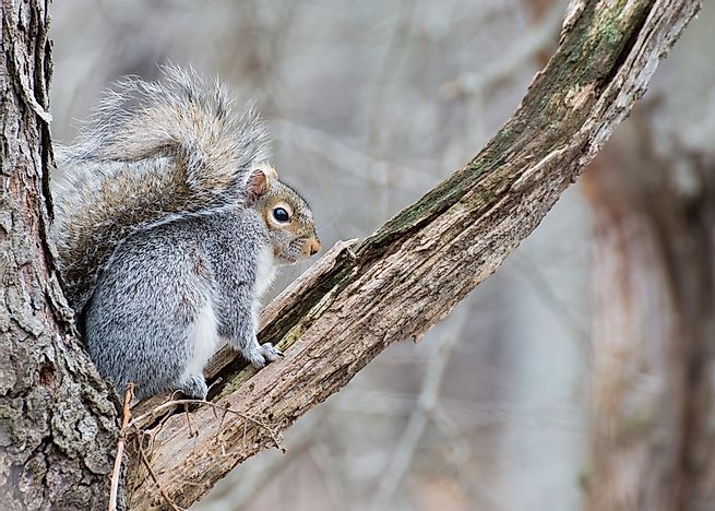 An eastern grey squirrel.