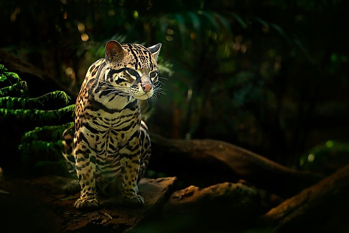 Margay in Costa Rica.
