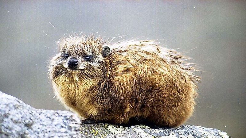 Small Thickset Herbivorous Mammals The Rock Hyrax Procavia Capensis Is Found Across Sub Saharan Africa These Animals Usually Take Shelter Inside
