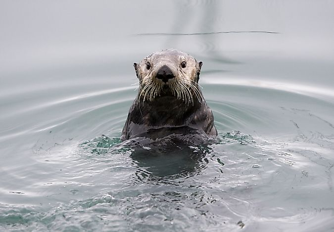 A sea otter found near Alaska.