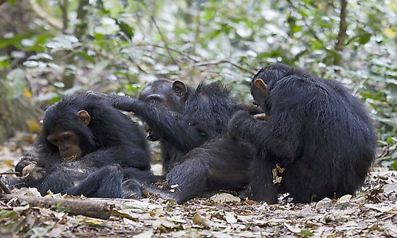 #4 Common chimpanzee -