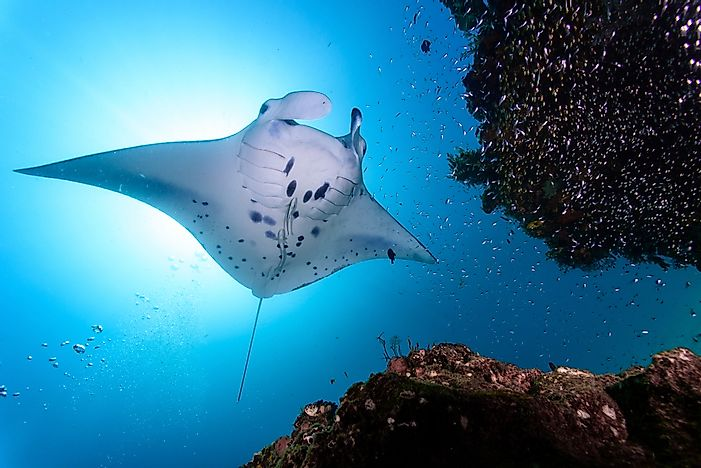 Manta rays prefer to inhabit areas around coral reefs.