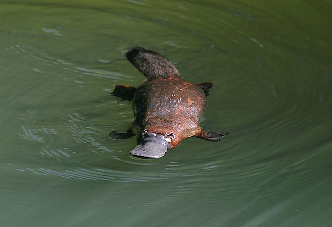 #1 Duck-billed Platypus