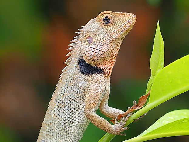 Native Reptiles Of Kenya