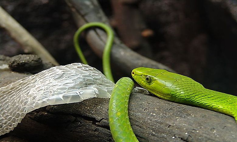 #1 Eastern green mamba -
