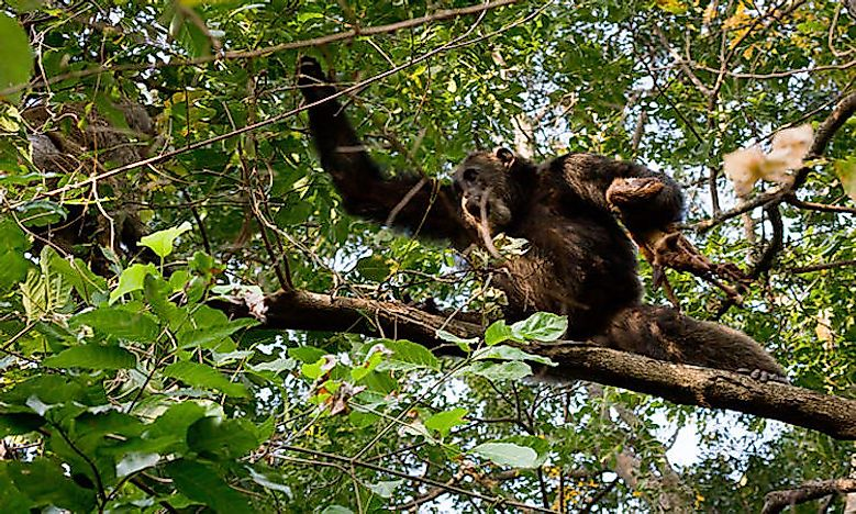 #8 Eastern chimpanzee -