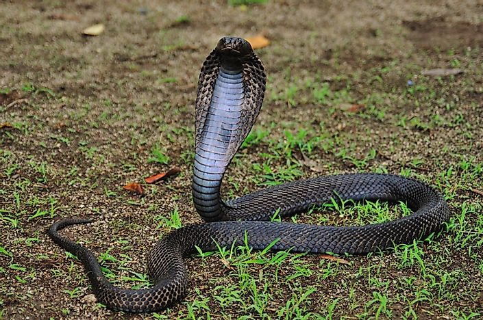 #10 Equatorial Spitting Cobra (0.60 mg per kg)