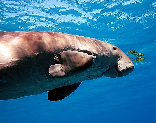 Dugong Facts - Animals of the Ocean