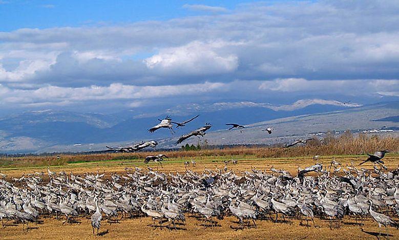 #2 Common crane  - 33,000 feet