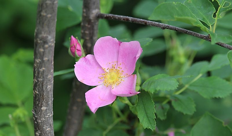 What Is The State Flower Of North Dakota? - WorldAtlas.com