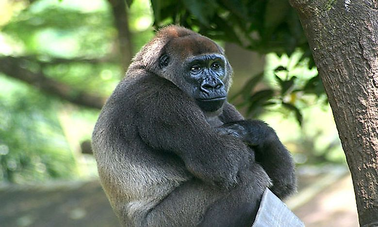 #4 Cross River gorilla  -