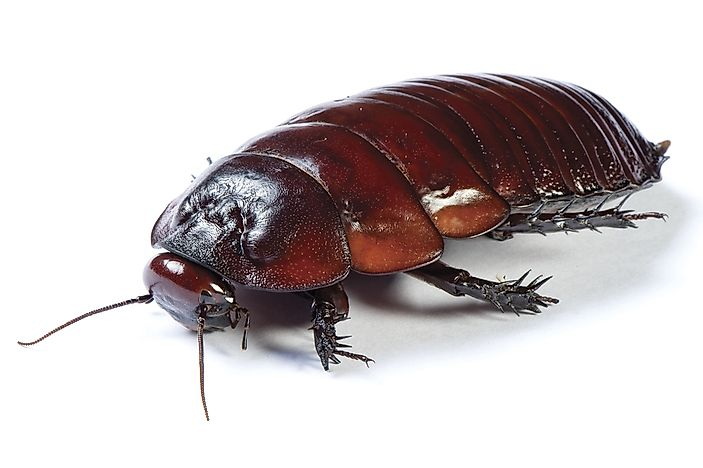 Burrowing cockroach, Australia.
