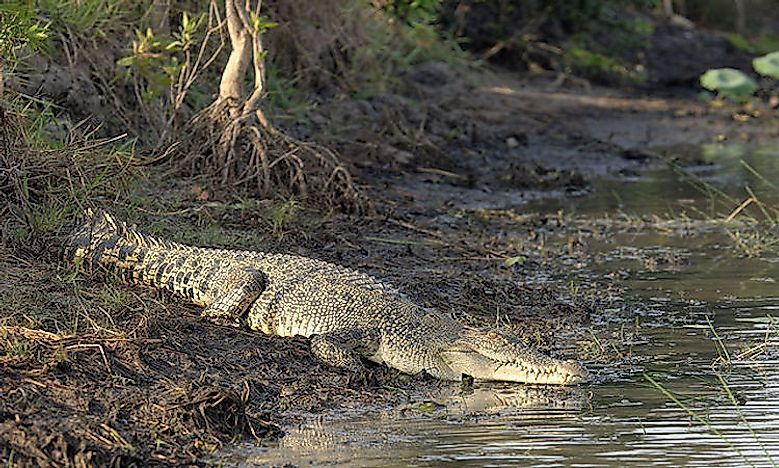 #10 Saltwater crocodile -
