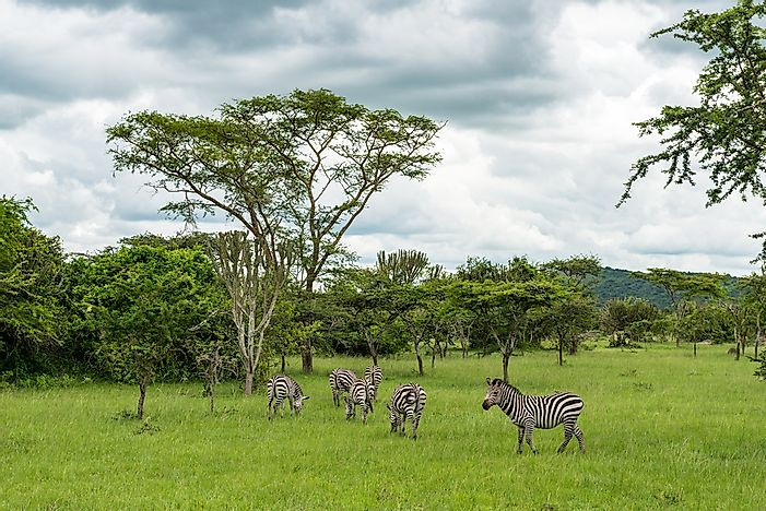 Zebras in Lake Mburo National Park.