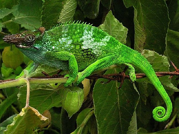 Native Reptiles Of Tanzania