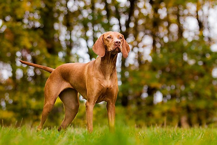 Vizsla dogs originated in Hungary.
