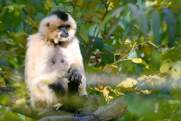 #4 Eastern Black Crested Gibbon